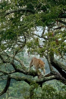 Leopard safari rwanda by Zilla